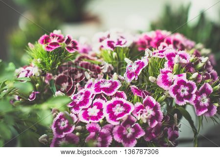 Sweet-william flowers. Close up, toned image, selective focus