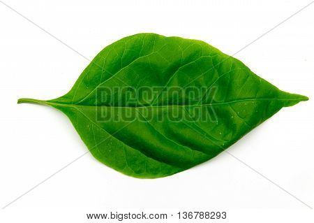 Bougainvillea leaves nature isolated on white background.
