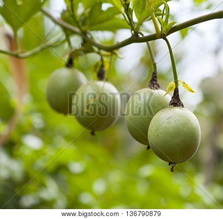 Unripe passion fruits in a Kenyan garden.