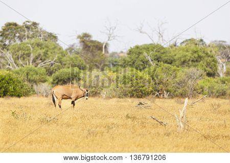 East African Oryx, Kenya