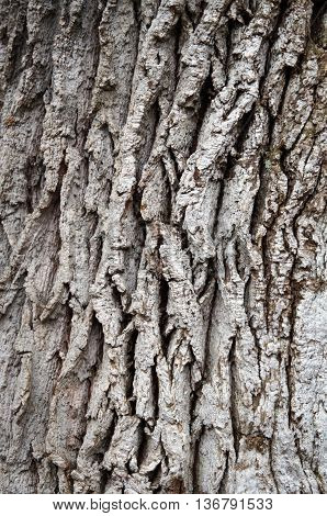 The gray bark on a tree trunk with cracks and indentations