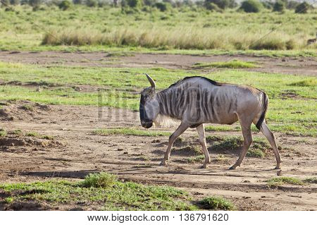 Wildebeest in the dry Amboseli National Park Kenya