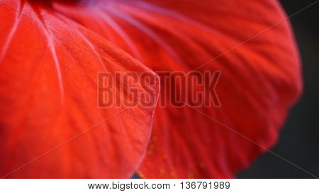 Red hibiscus petal with streaks and glitter closeup