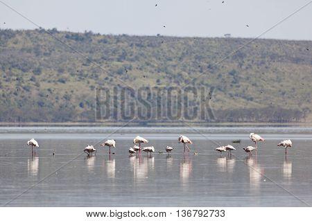 Flamingos at Lake Nakuru in Kenya near the shore.