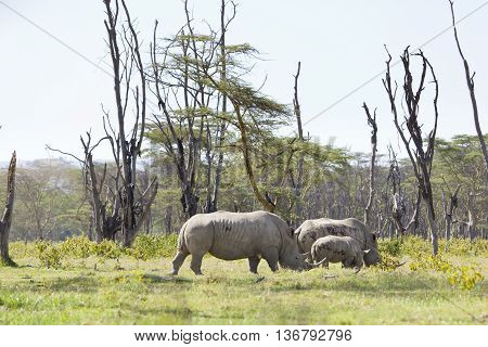 Rhino Family In Kenya