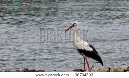bird stork ciconia ciconia on river background