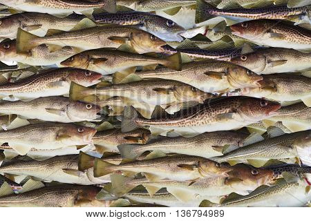big cod fishes (  Gadus morhua ) background