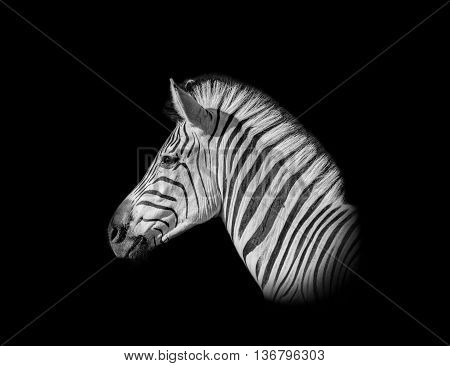 A monochrome portrait of a Burchell's Zebra standing in savannah in Southern Africa