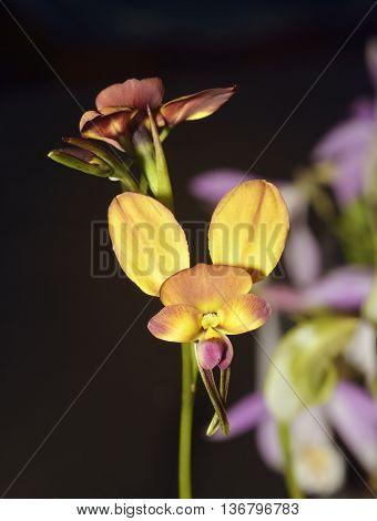 Wallflower Diuris Orchid - Diuris longifolia From Australia