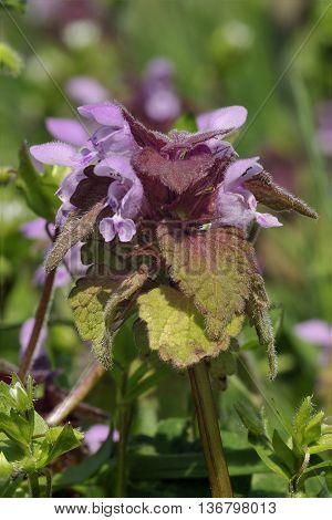 Red Dead-nettle - Lamium purpureum Pink Wild Flower