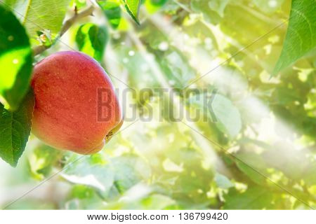 Apple hanging on tree, green garden in background