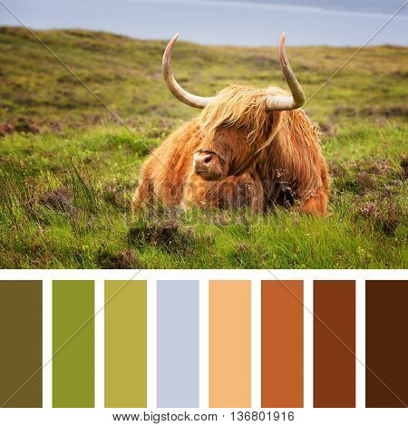 Highland cow on the Isle of Skye, Scottish highlands, United Kingdom. In a colour palette with complimentary colour swatches.