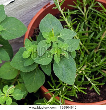Origano / Origanum herb plant - young cutting with rosemary in background in plant pot.