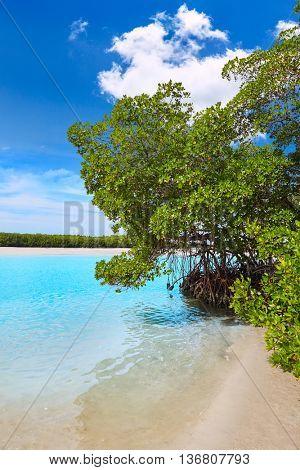 Florida bonita Bay beach mangroves in USA