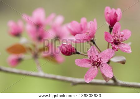 five petal pink flowers of cherry tree in Spring full bloom