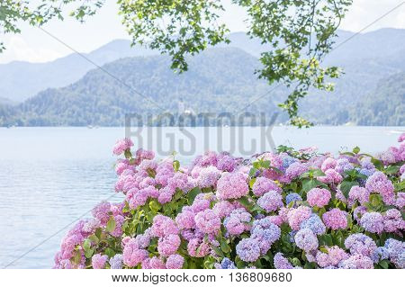 beautiful pink hydrangea blossom on lake Bled