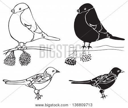 illustration on white background hand drawing forty and bullfinch birds