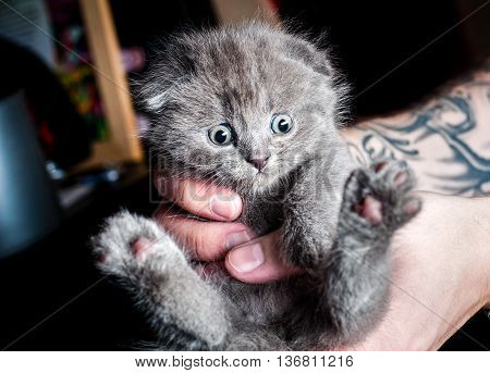 British kitten meow in human hands with tattoo