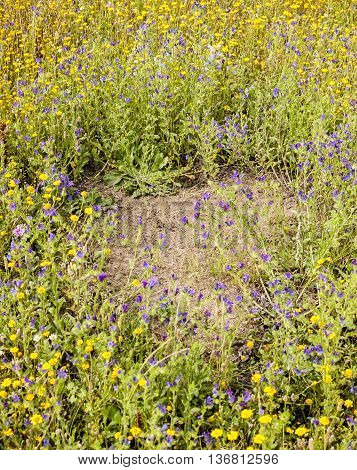 Clearing within yellow and blue flower meadow made by ants anthill