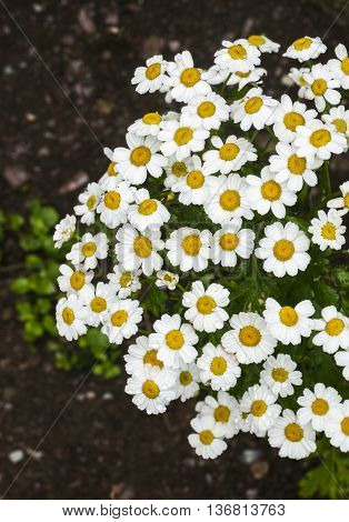 Feverfew herb (Tanacetum parthenium) - mature plant growing in garden.