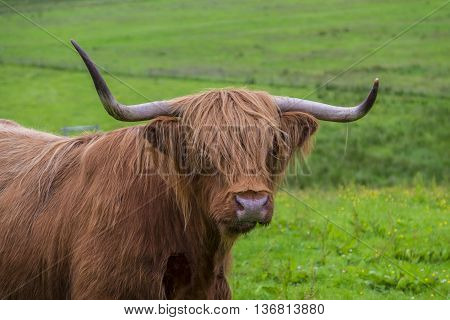 Iconic Scottish scene of a large horned Higland Cow with its long red fur covering its eyes