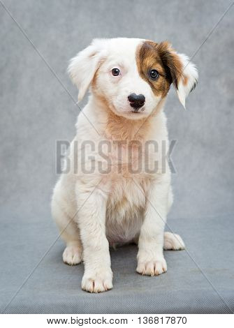 White puppy with an orange spot on eye