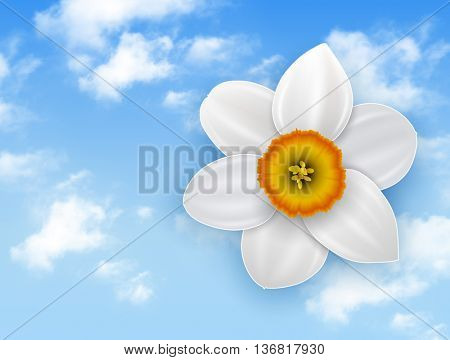 Summer flower background - narcissus white flower and blue sky with white clouds.