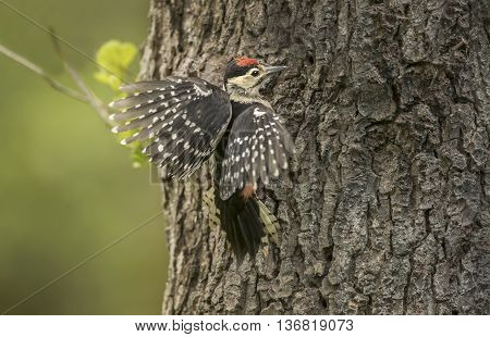 Great Spotted Woodpecker, Juvenile Landing On The Trunk Of A Tree