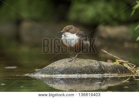Dipper On A Rock In A River