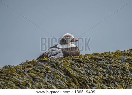 Long-tailed duck male on a seaweed covered rock