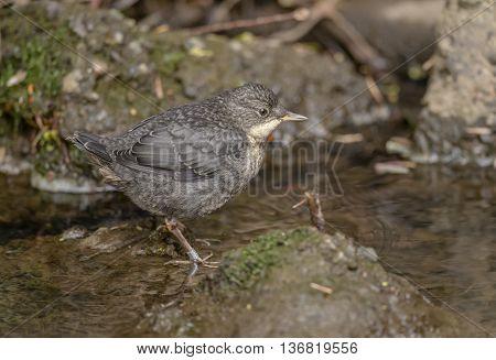 Dipper juvenile on a rock in a river