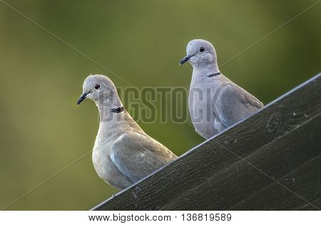 Collared Doves perched on guttering, close up