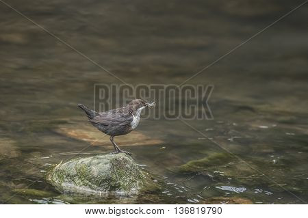 Dipper On A Rock In A River, With Bugs In Its Beak