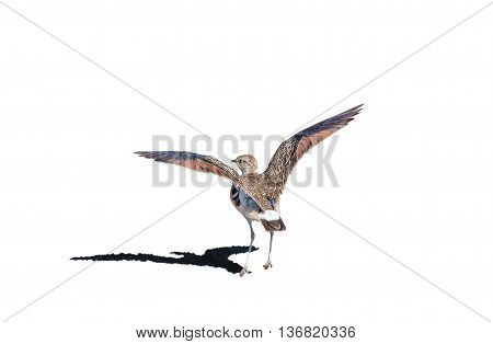 A double-banded courser Smutsornis africanus or Rhinoptilus africanus isolated on white