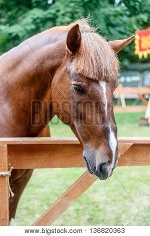 Chestnut trakehner stallion in paddock - summer park.