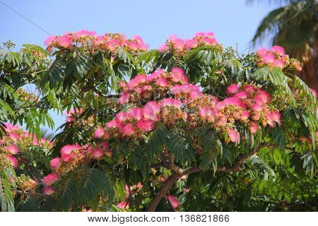 Lankaran acacia has several names: albizia silk or silk tree. This is an unusual tropical plant belongs to the Legume family