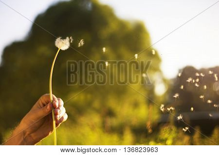 Flew dandelion flower in his hand on a sunset background