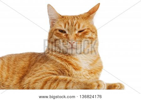 Portrait of a red cat with a cunning squinting glance isolated on white