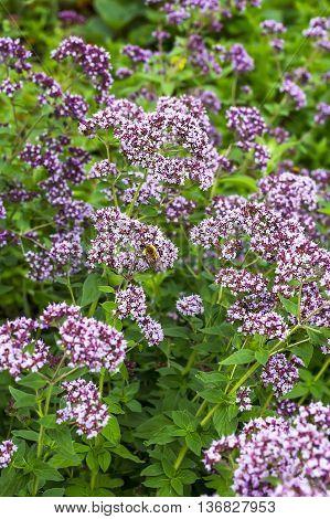 Medicinal plant Oregano ( Latin name Origanum ) a genus of herbaceous plants of the family Lamiaceae (Lamiaceae). Plant in flowering period