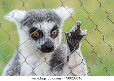 Close Up portrait Of Ring Tailed Lemur