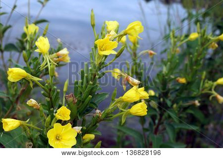 Common evening primrose flowers (Oenothera biennis), also called evening star, and sun drop, bloom next to a small lake in Shorewood, Illinois during August.