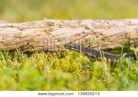 A Small Salamander In The Green Grass