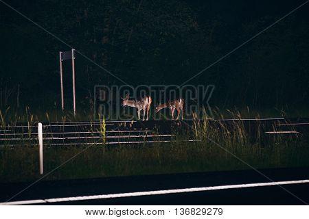 Two Deer On The Roadside Along Road