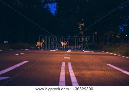 Two Deer Crossing The Road At Dawn
