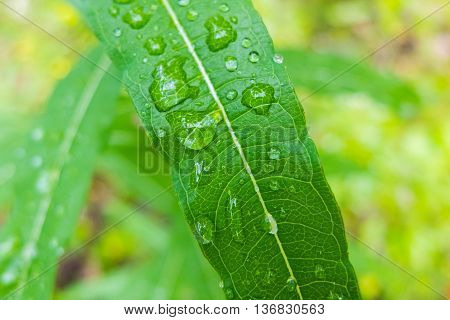 Dew drop macro on a green leaf. Close-up shot of drops of water. Morning freshness of nature. Forest beauty of green vegetation in the summer.