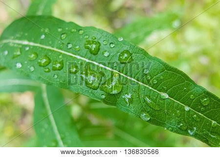 Large drops of dew on a green leaf. Close-up shot of drops of water. Morning freshness of nature. Forest beauty of green vegetation in the summer.