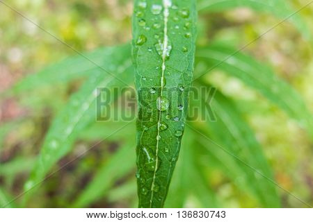 Dew drop macro on a green leaf, morning freshness of nature. Close-up shot of drops of water. Forest beauty of green vegetation in the summer.