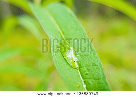 A drop of dew on a green leaf. Close-up shot of drops of water. Morning freshness of nature. Forest beauty of green vegetation in the summer.