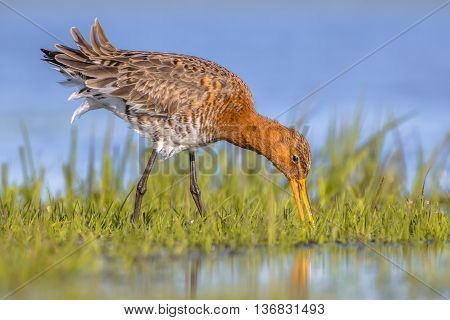 Close Up Of Black Tailed Godwit Foraging In Marsh
