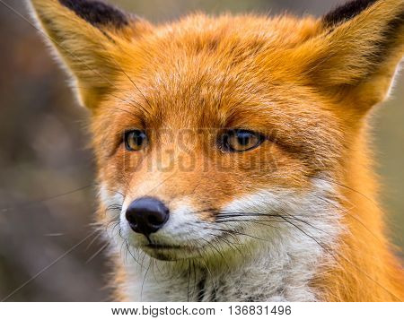 Close Up Of Head Of Fox